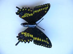Papillon du c�leri