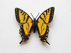 Papillon tigr� du Canada
